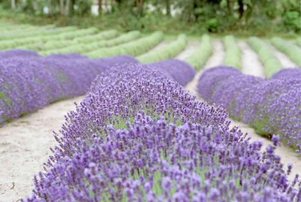 Lavendelöl BIO