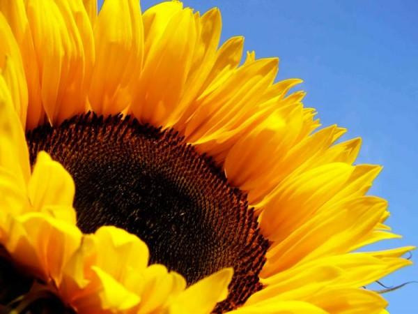 Sonnenblumenöl BIO nativ
