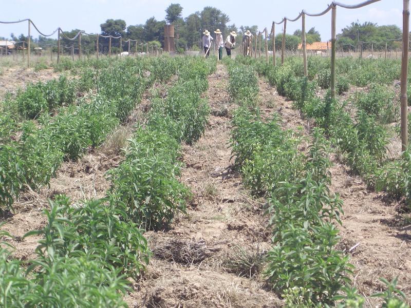 stevia-paraguay-plantage1