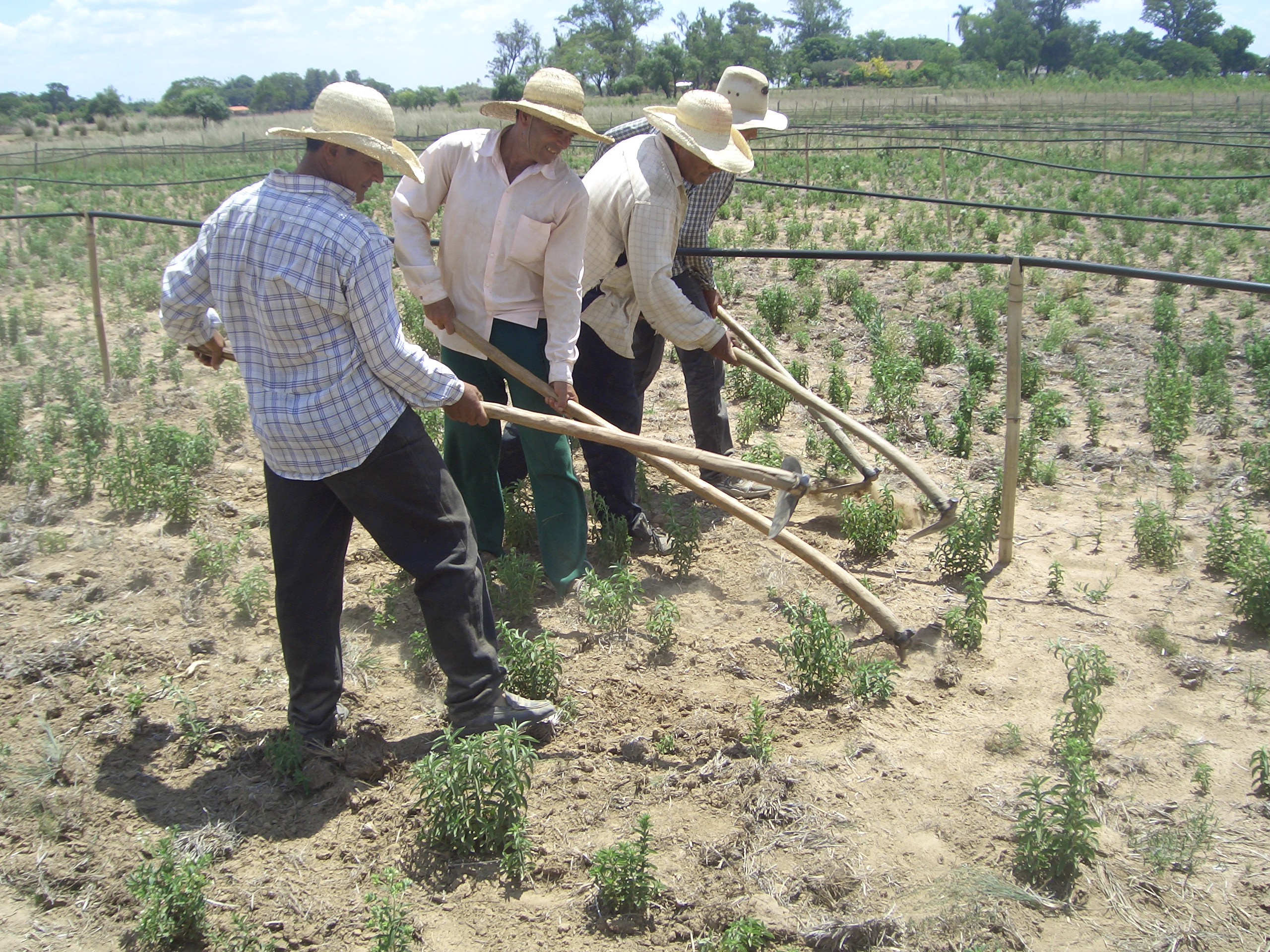 stevia-paraguay-plantage